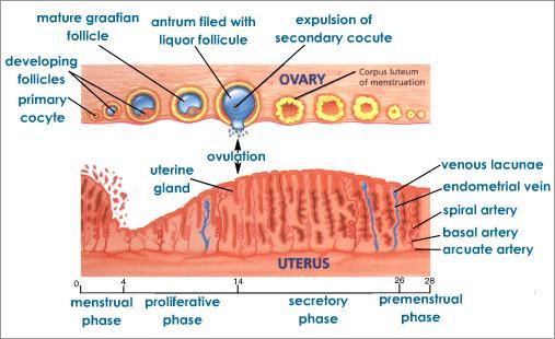 http://miraclesofthequran.persiangig.com/biometric/badan/menstrual-cycle-process.jpeg